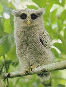 Barred-Eagle-owl