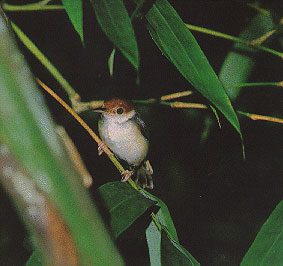 Red-headed-or-Ashy-Tailorbi
